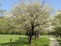 virginia state tree