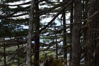 alaska state tree