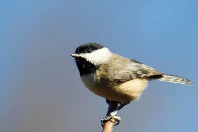 chickadee maine state bird