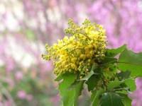 oregon state flower
