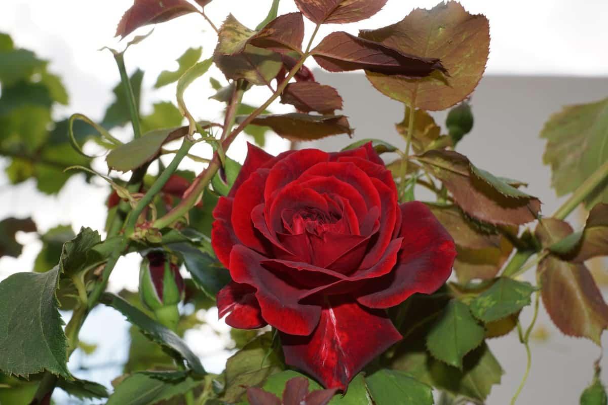 oklahoma state flower
