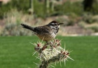 Catus Wren Arizona State Bird