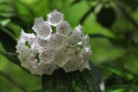 connecticut state flower mountain laurel