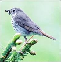 vermont state bird