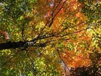 vermont state tree