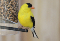 iowa state bird